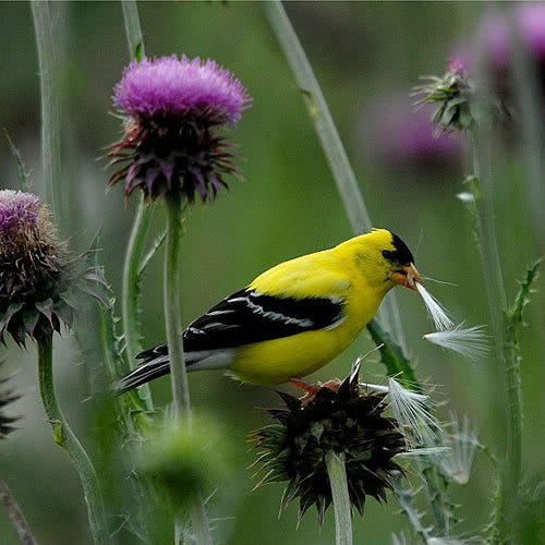 Goldfinch thistledown thistle